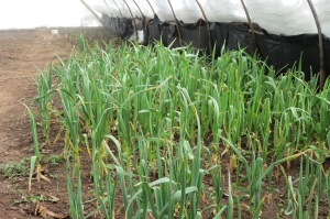 Garlic in the Cold Frame