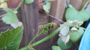 And grapes are developing nicely.