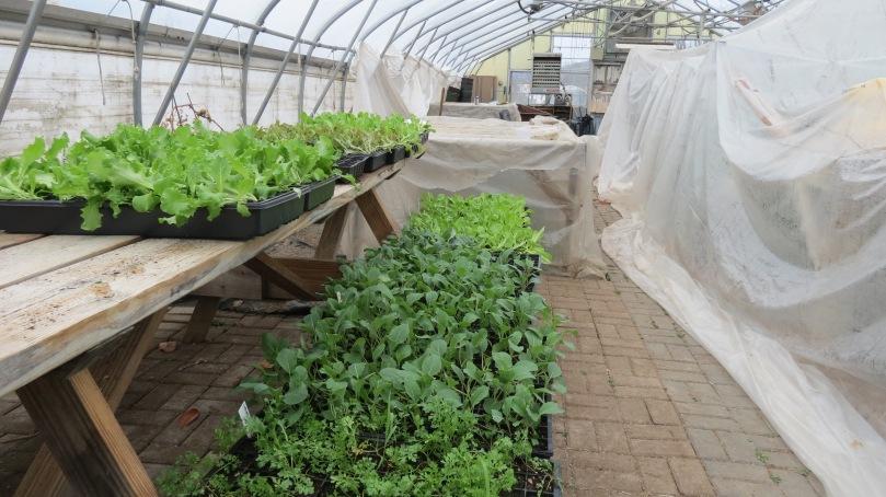 Lettuce and Cauliflower